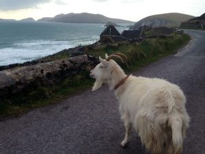 "The ""devilish"" goat on the road to Dunquin!"